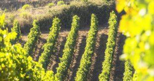 Le vigne di vino di Baglio di Pianetto